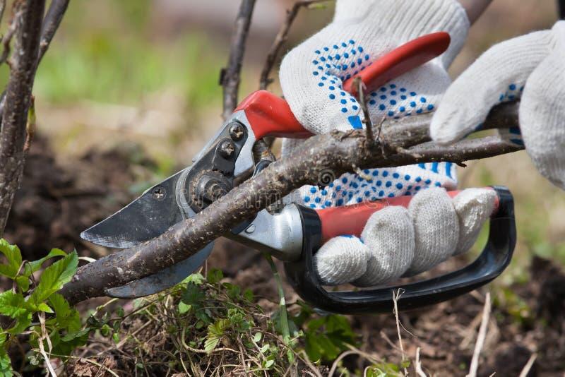 Händer som beskär den svarta strömmen med sekatör i trädgården royaltyfri foto
