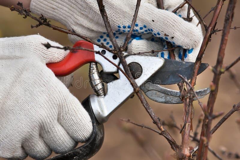 Händer som beskär filialen av den svarta strömmen med sekatör i garden royaltyfri fotografi