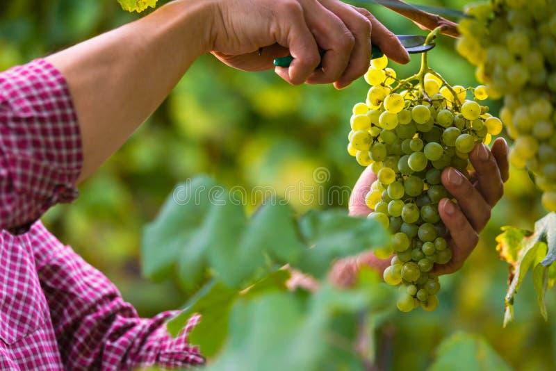Händer som klipper vita druvor från vinrankor fotografering för bildbyråer