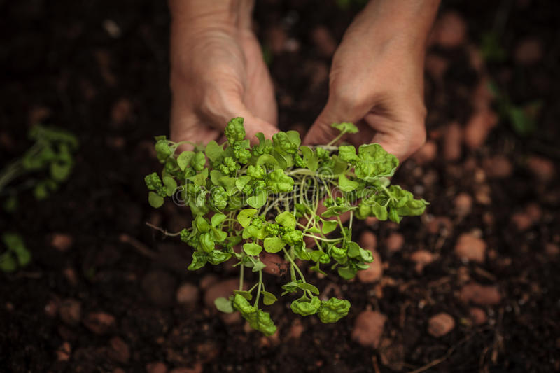 Händer som planterar växten fotografering för bildbyråer