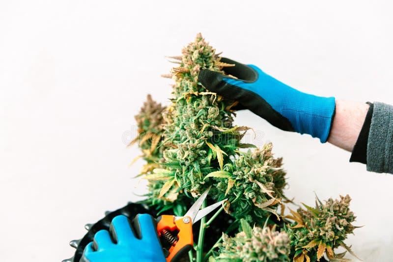Händer som rymmer cannabisknoppen royaltyfria bilder