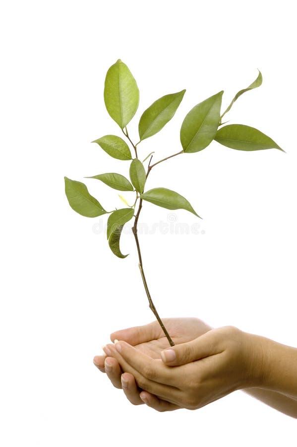 händer som rymmer den små treen royaltyfri fotografi