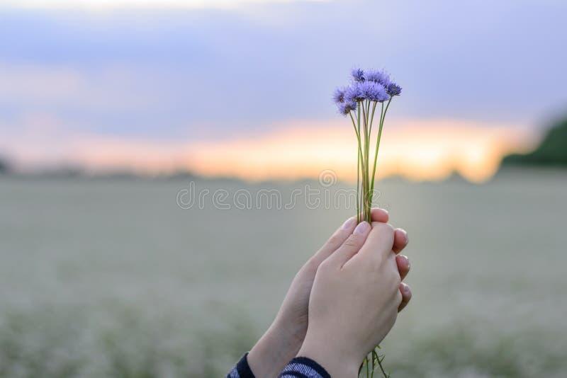 Händer som rymmer en liten bukett av blåklinter mot bakgrunden av aftonhimlen och ett blommafält arkivbilder