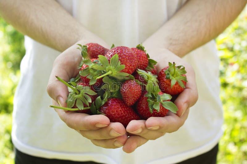 Händer som rymmer nya jordgubbar i trädgård royaltyfri fotografi