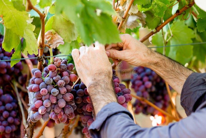 Händer som rymmer röda druvor i vingården arkivbild