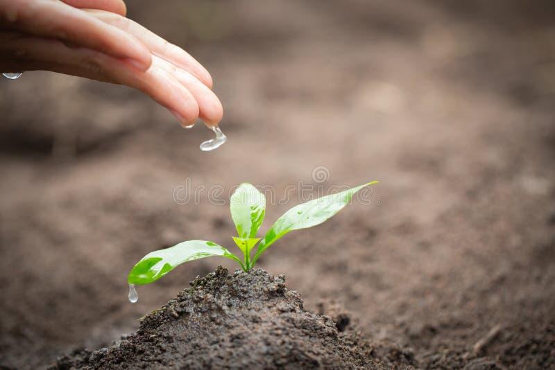 Händerna dryper vatten till de lilla plantorna, växt ett träd, förminskar global uppvärmning, dag för världsmiljö royaltyfria bilder