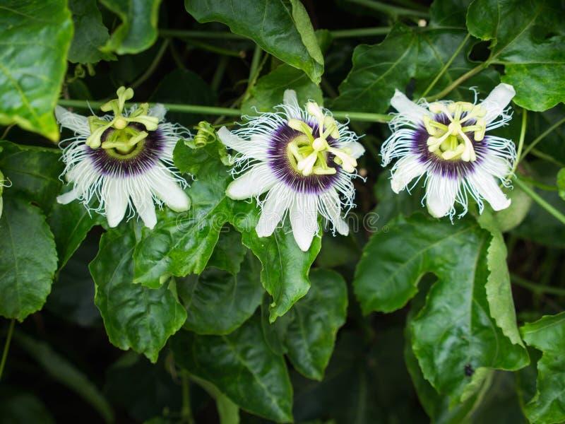 Hänga för 3 blommor för passionfrukt arkivfoto