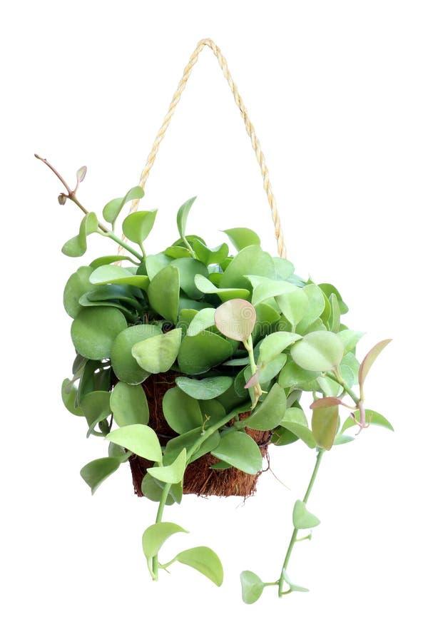 Hänga för grön växt som isoleras på vit royaltyfri bild