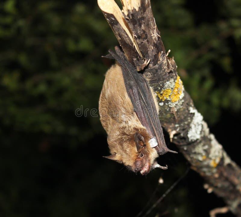 Hänga för Serotineslagträ som (Eptesicusserotinus) är uppochnervänt royaltyfria foton