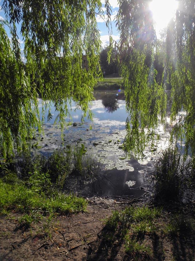 Hängande filialer av sälgen på en solig dag i parkerar ovanför vattnet Liljablock på vattnet i dammet royaltyfria bilder