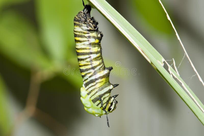 hängande monark för caterpillar