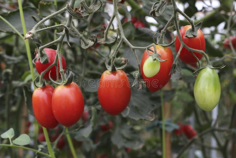 Hängande nya mogna tomater arkivbild