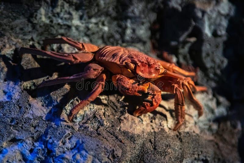 Hängd röd krabba på bergig havsbotten Vibrant rödfärgat krabba med stora klor, skaldjur, skaldjur royaltyfri bild