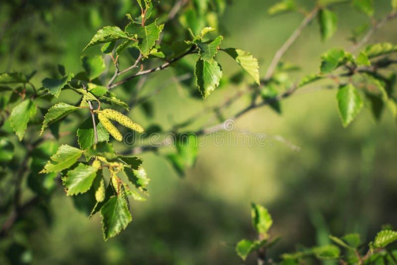 Hängeknoppar på ett träd för vit björk i tidig vår mot en bakgrund av grön lövverk och solljus arkivfoto