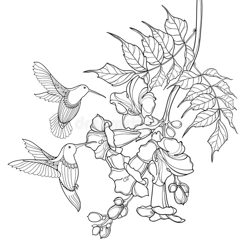 Hängende Niederlassung des Vektors von Entwurfsschwarzes Campsis-radicans oder von Trompetenrebblütebündel und Kolibri lokalisier vektor abbildung