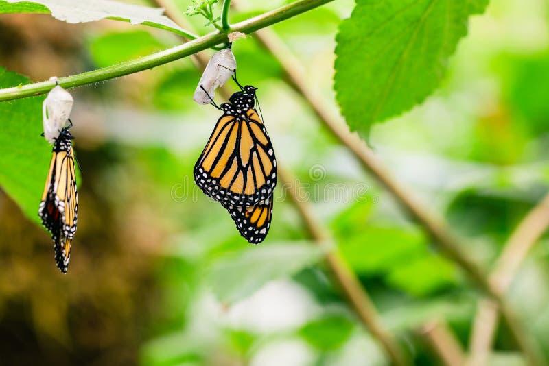 Hängende Schmetterlinge und Kokons lizenzfreie stockbilder