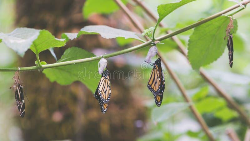 Hängende Schmetterlinge und Kokons stockfotografie