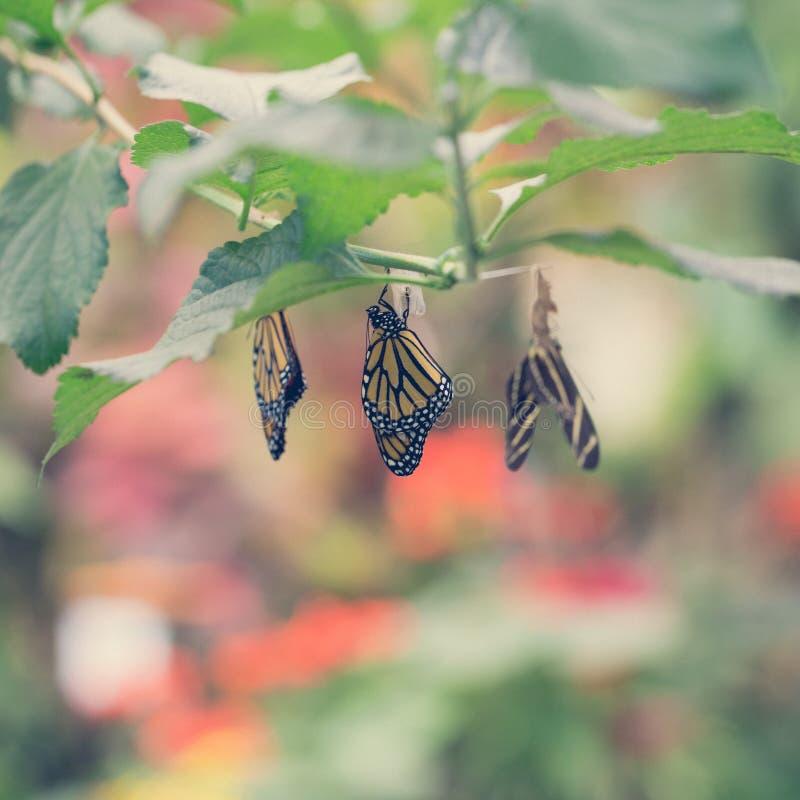 Hängende Schmetterlinge und Kokons stockbilder