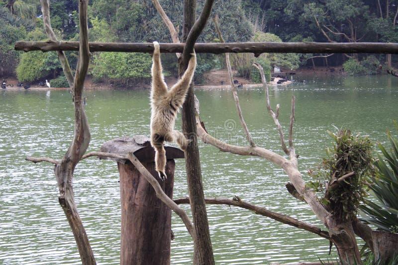 Hängender Fallhammer - Paulo-Zoo lizenzfreies stockbild