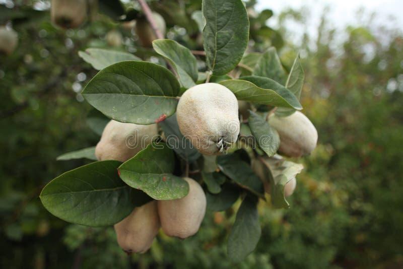 Hängender Niederlassungsbaum der Quittenfrucht lizenzfreies stockfoto