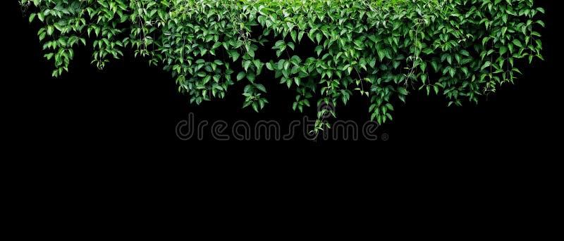Hängender Rebefeulaub-Dschungelbusch, Herz formte die grüne Blattkletterpflanzenatur-Hintergrundfahne, die auf Schwarzem lokalisi stockbilder