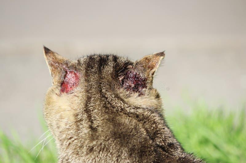 härdad hemlös kattvassfärg med skador till typisk skrapa för öra- och skabbotoacariasis bak öronen royaltyfri foto