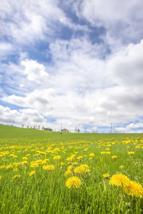 Härlig äng med vibrerande gula blommor och gröna gräs i vår arkivfoto