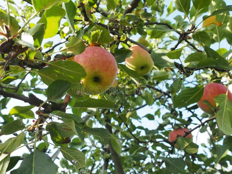 Härlig äppleorchadbakgrund Fantastiskt sommar- och höstlandskap med mycket nya frukter för sunt liv arkivfoto