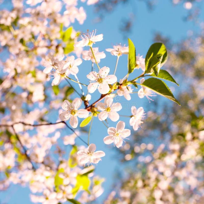 Härlig äppleträdfilial med solen Härlig äppleträdfilial Blomningträdet över naturbakgrundsvåren blommar/våren tillbaka arkivfoton