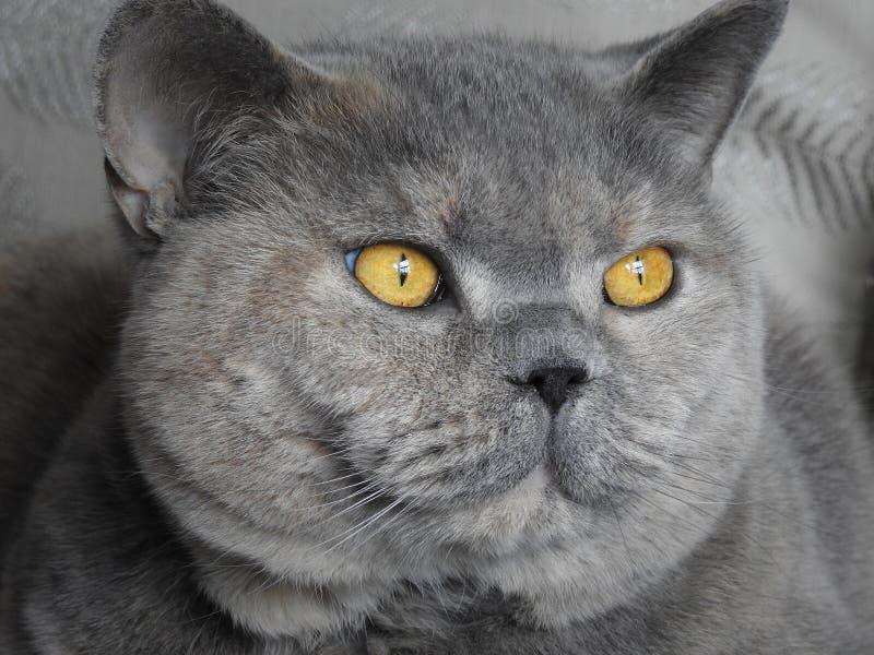 Härlig ögonstående för rasren katt fotografering för bildbyråer