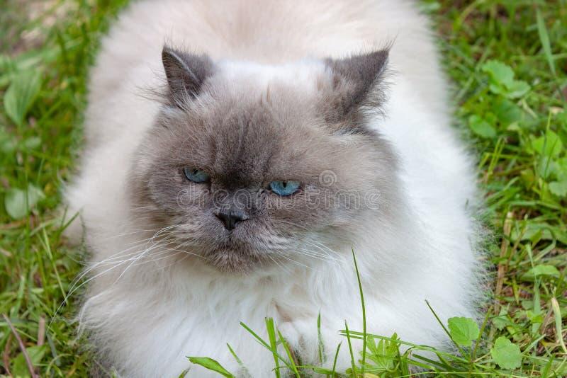 Härlig allvarlig fluffig katt med blåa ögon arkivbilder
