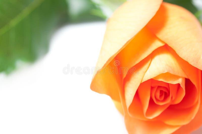 Härlig apelsinros royaltyfria foton