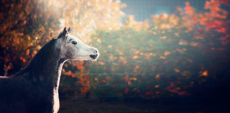 Härlig arabisk häst med det vita huvudet på underbar naturbakgrund royaltyfri foto