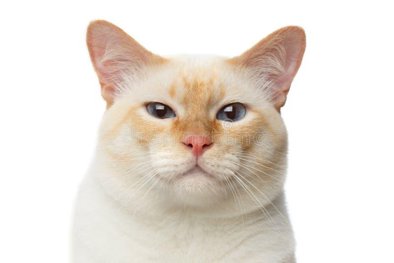 Härlig avelMekong stubbsvansad engelsk fårhund Cat Isolated White Background royaltyfri foto