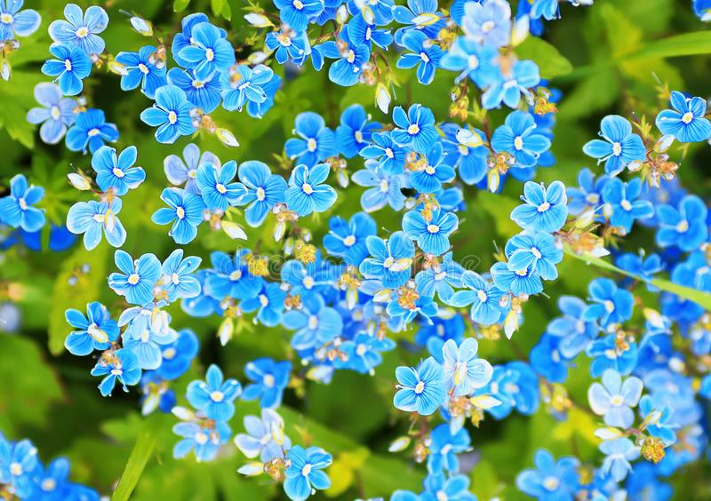 Härlig bakgrund av blåa delikata blommor av glömma-mig-nots arkivfoton