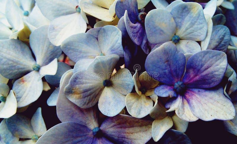 Härlig bakgrund av den blåa och purpurfärgade vanliga hortensian blommar royaltyfri foto