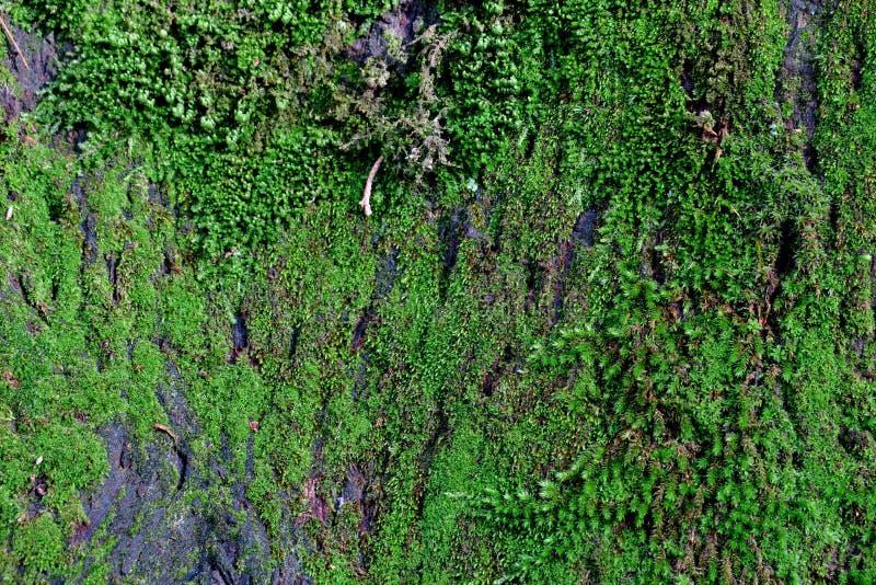 Härlig bakgrund av den gamla eken som täckas med grön mossa royaltyfria bilder