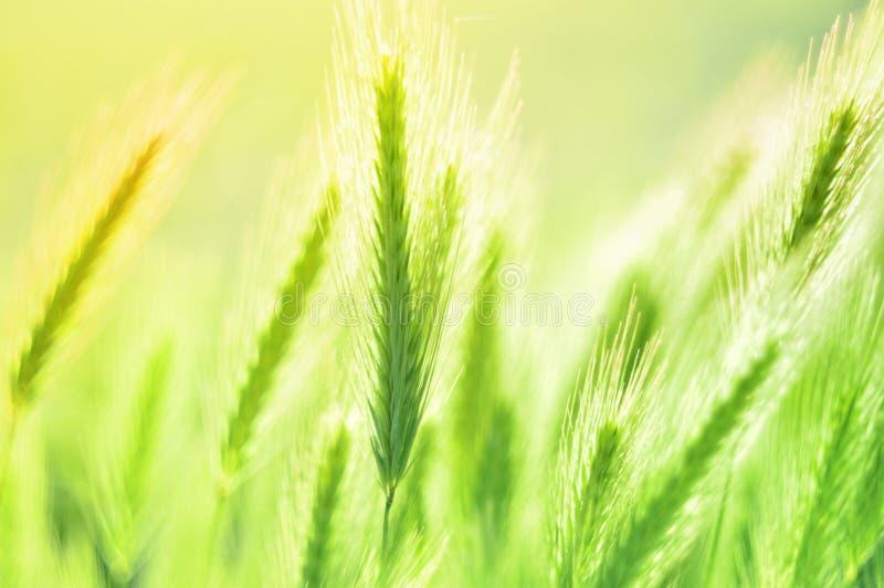 Härlig bakgrund av gjorda suddig fältväxter Spikelets på en grön bakgrund Bl?tthav, Sky & moln arkivfoto