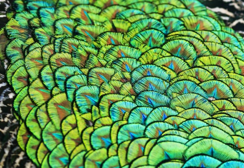 Härlig bakgrund av ljusa färgrika fjädrar av en fågelpeacoc fotografering för bildbyråer