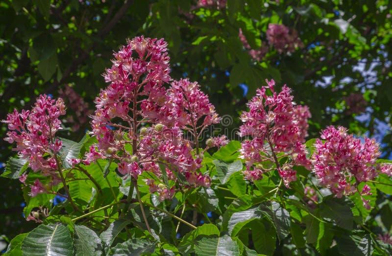 Härlig bakgrund av sidor och blommor av den rosa kastanjen arkivfoto