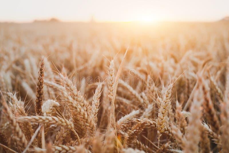 Härlig bakgrund för veteskördfält med guld- solnedgångljus som skördar arkivbilder