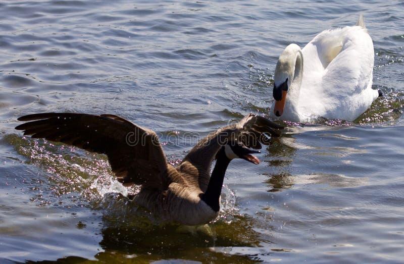 Härlig bakgrund med den Kanada gåsspringen i väg från den ilskna stumma svanen arkivfoton