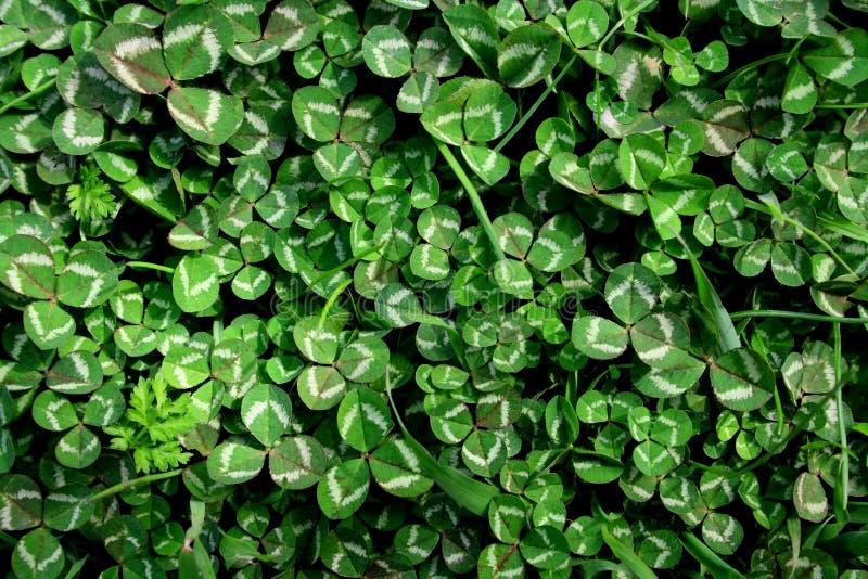 Härlig bakgrund med gröna växt av släktet Trifoliumsidor för dag för St Patrick ` s arkivbilder