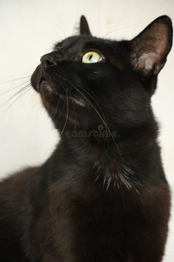Härlig behagfull svart katt Marsik royaltyfria foton
