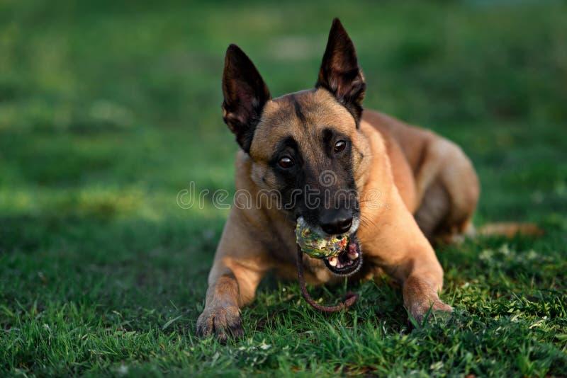 Härlig belgisk herdemalinoishund royaltyfria bilder