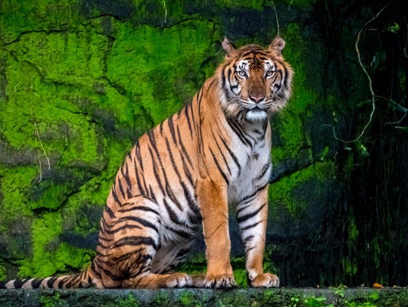 Härlig Bengal tiger, drottningtiger i natur för skogshowhandling royaltyfria foton