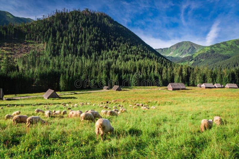 Härlig betande flock av får på gryning, Tatra berg royaltyfria foton
