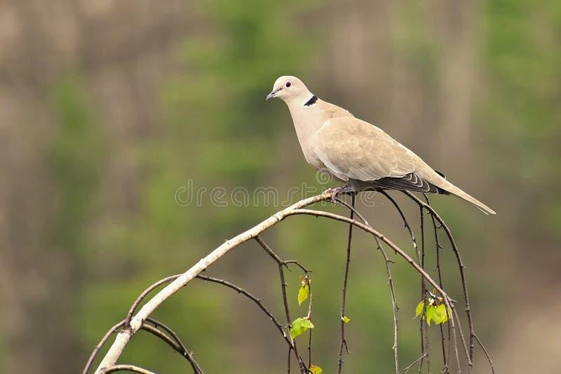 Härlig bild av en fågel i ett träd Turturduva - försedd med krage duvaStreptopeliadecaocto arkivfoto
