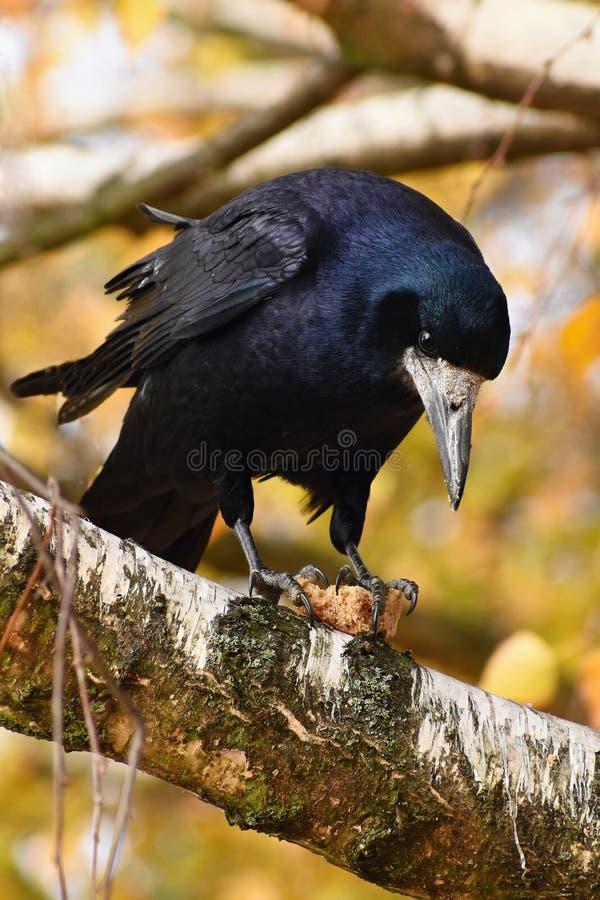 Härlig bild av en fågel - som är korpsvart/galande i höstnatur (Corvusfrugilegus) royaltyfri bild