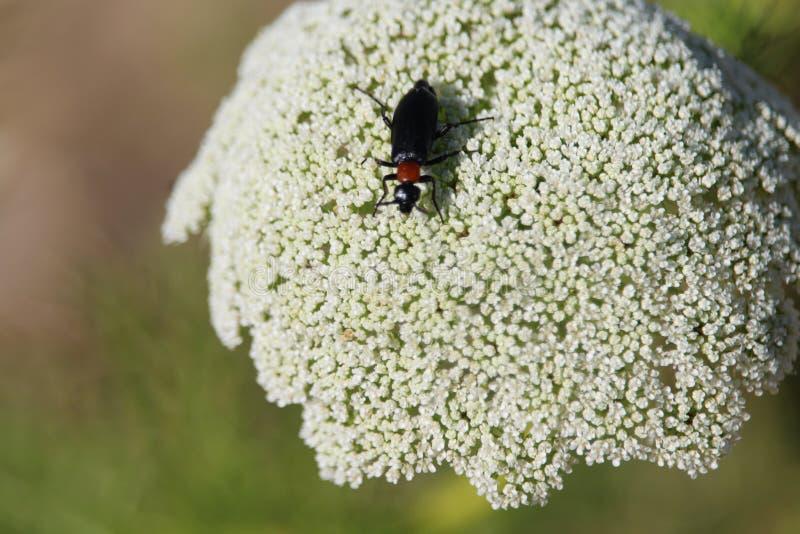 Härlig bild av ett kryp, genom att ta bort pollen från blommorna arkivfoto